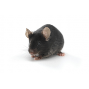 Mysz B6D2F1/J (JAX™ szczep mysi)