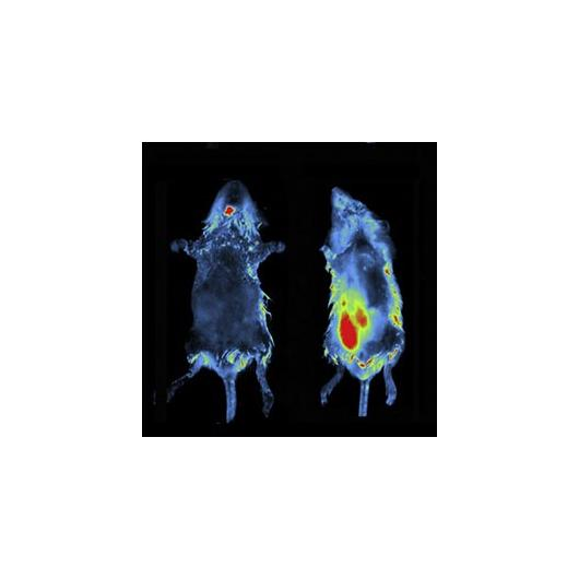 invivo imaging 2