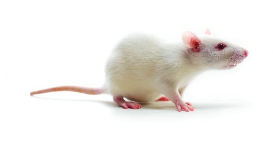 Biały szczur albinos