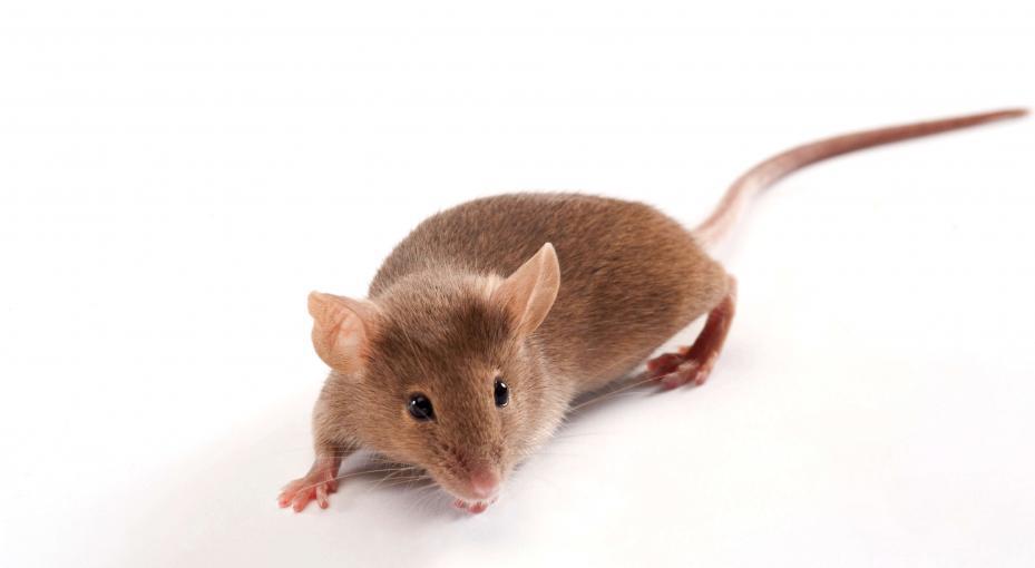 Mysz wsobna