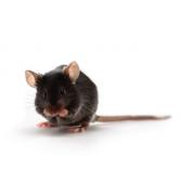 Mysz ApoE (JAX™); B6.129P2-Apoetm1Unc/J