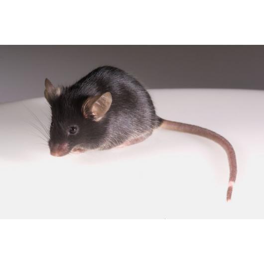 Mysz BRG z deficytem odporności