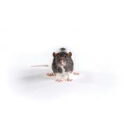 Szczur Zucker, szczupły, Crl:ZUC-Leprfa