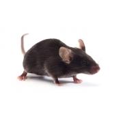 Mysz C57BL/6J (JAX™)