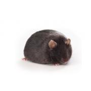 Myszy ob/ob (JAX™); B6.Cg-Lepob/J