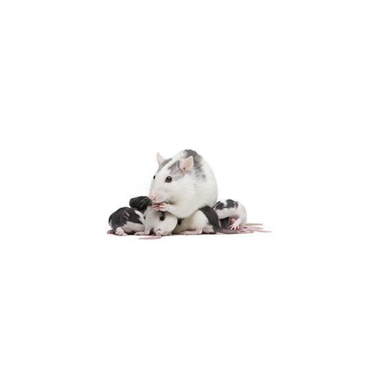 Pasza hodowlana dla myszy i szczurów