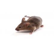 Mysz B6CBAF1/J (JAX™ szczep mysi)