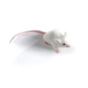 Mysz NOD (JAX™); NOD/ShiLtJ