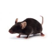 Mysz K18-hACE2 JAX