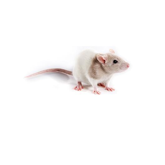 FHH rat